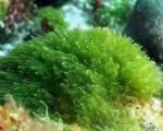 Algas pluricelulares