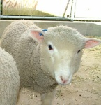 polypay-sheep-hero-3