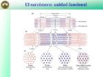 El+sarcómero_+unidad+funcional