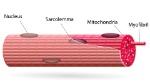 fibra-muscular11
