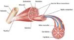 partes-del-musculo