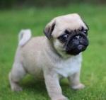 pug-cachorros-de-calidad-a-meses-sin-intereses-D_NQ_NP_270901-MLM20441237103_102015-F