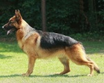Pastor-aleman-un-perro-elegante