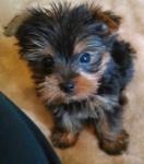 yorkshire-terrier-yorky-yorkie-hermosos-cachorros-D_NQ_NP_963488-MLM25766149687_072017-F
