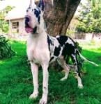 cachorros-gran-danes-con-pedigree-hijos-de-campeones-D_NQ_NP_611770-MLM26799283265_022018-F