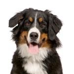 mountain-dog