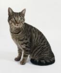 6-104458-mackerel-tabby-cat-1432939956
