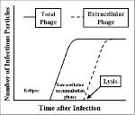 viral life cycle