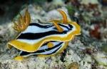 Nudibranche Gasteropode