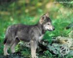 Wolf-pup-defenders