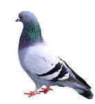 lớp chim