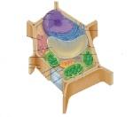 植物細胞2