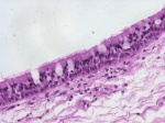 pseudostratified ciliated columnar epithelium 40x 2_tif