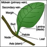 External leaf parts