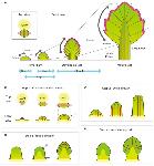 growth of a leaf