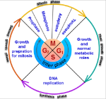 cell-cycle-2