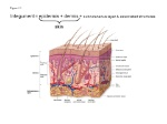 Figure+5.1+Integument+=+epidermis+++dermis+++subcutaneous+layer+&+associated+structures+skin+1