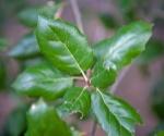 sclerophylllous leaves