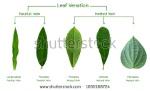 leaf veination