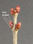 bud scales