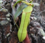 Nepenthes_gracilis