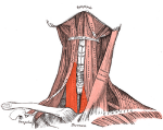 250px-Sternothyroideus