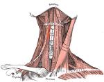 250px-Thyrohyoideus