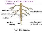 external root part