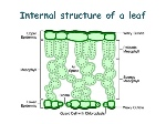 leaf-structure-9-638