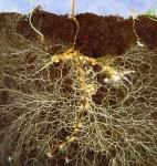Mycorrhizae_1