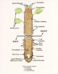 internal root