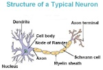 Neuron labeled