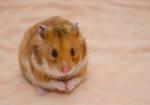 Hamster (1)