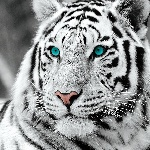 white-tiger-blue-eyes-b-w-i25520