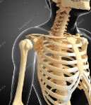 depositphotos_55579241-stock-photo-shoulder-skeleton-artwork