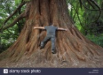 a-man-demonstrates-the-girth-size-of-a-redwood-tree-sequoia-by-the-JEWAGD
