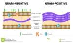 bacterias-grampositivas-y-gramnegativas-45337024