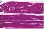 tecido musc. liso