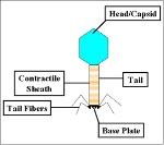 host cell