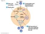 viral replicative  cycle