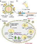 Flavivirus virus