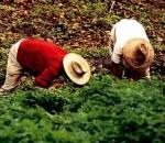 cultivo-de-cafe-11
