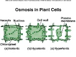 osmosis in plant