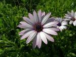 anemone-hortensis-field-flower