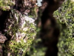poikilohydry-liverwort-on-tree-expanded