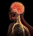 Male-Nervous-System-ref01