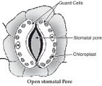open stomatal