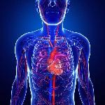 31782901-illustratie-van-menselijk-hart-anatomie