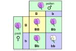 monohybrid-cross-punnett-square