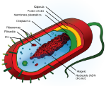 Partes-de-la-bacteria